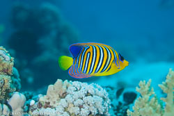 BD-120422-St-Johns-5982-Pygoplites-diacanthus-(Boddaert.-1772)-[Regal-angelfish.-Påfågelkejsarfisk].jpg